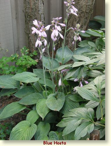 Hosta Fortunei Hyacinthina picture